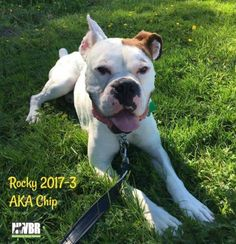 "Chip (Rocky 2017-3): ""I'm playing and snuggling in the best forever family ever! Thanks, NWBR!"""