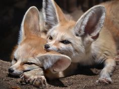 Lend me your ear by Ion Moe | Two fennec foxes nap in the sunshine at the San Diego Zoo