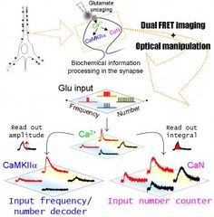 dFOMA imaging reveals unsuspected non-linearity in information processing governed by synaptic Ca2+-dependent enzymes, CaMKIIalpha and calcineurin, which are activated during synaptic plasticity and learning & memory. © The Authors. #UTokyoResearch