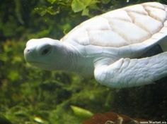 Animales Blancos: tortuga marina albina