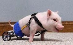 Chris P Bacon, a piglet born without the use of his hind legs, is seen with his new wheelchair at the Eastside Veterinary Hospital in Clermont Florida. The pig's owner turned the piglet over to a. Animals And Pets, Baby Animals, Cute Animals, Chris P Bacon, Mini Pigs, Cute Piggies, Baby Pigs, Cutest Thing Ever, Little Pigs