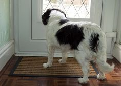 dog standing at the door barking at the doorbell