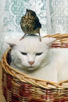 Animal sanctuaries are wonderful places, where even the fiercest of predators befriend their prey. Here Blofeld the cat (somewhat reluctantly) lets a thrush sit on his head.