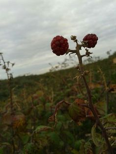 Berries near the sea