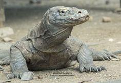 Komodo Dragon by Leonardus Nyoman on Komodo Dragon Pictures, Dragon Makeup, Animals Beautiful, Cute Animals, Large Lizards, Pet Ball, Komodo National Park, Monitor Lizard, Cute Reptiles