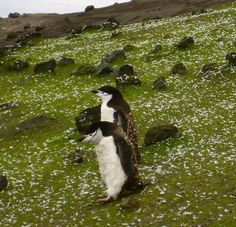 The almost plush animal-like chinstrap penguins pop against the background of green grass and white feathers.  Can you believe this is in Antarctica?