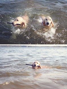 golden retriever puppy, swimming puppy, puppies, puppy