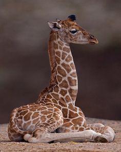40 Photos Of Baby Giraffes