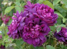 Purple roses   'John l'Inconnu'   photo: André Eve