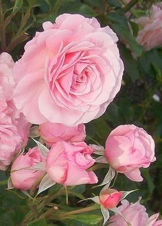 English Roses-my favorites! Rose Pictures, Pictures Of People, Beautiful Pictures, Peach Flowers, Pink Roses, Beautiful Roses, Beautiful People, Paradise Garden, David Austin Roses