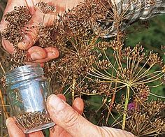 Au potager : récolter et conserver les graines des légumes et plantes cultivées…