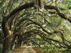 Ancient Live Oak Trees in Georgia Fotoprint van Maria Stenzel - bij AllPosters.be