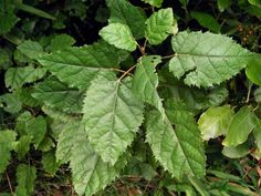 Makomako, or wineberry (Aristotelia serrata), a fast-growing tree, thrives in moist fertile sites. It is especially common in forest clearings and at the edges of regenerating forest. It has thin, heart-shaped leaves, light green on the upper surface and often reddish underneath. In cold districts it is semi-deciduous, losing most of its leaves by the end of winter. Although the juicy fruit is edible, the seed within the berry is bitter and should be discarded.