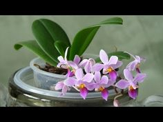 Размножение Фаленопсис !Реальный СУПЕР способ! - YouTube Orchids Garden, Garden Plants, House Plants, Orchid Propagation, Glass Transfer, Leaves Of Grass, Growing Orchids, Phalaenopsis Orchid, Orchid Care