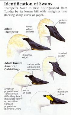 How to tell a Trumpeter from a Tundra (whistling) swan. Swan Love, Beautiful Swan, Beautiful Birds, Swans, Types Of Ducks, Swan Wings, Trumpeter Swan, Decoy Carving, Animaux