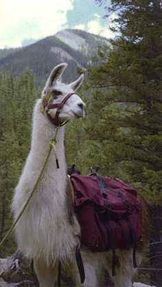 Llama trekking in Taos... on my to do list!