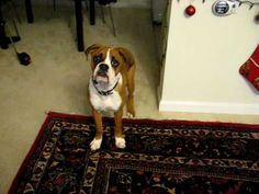 """Hilarious Boxer Can't Figure Out Why There's a """"Sound"""" Coming From His Butt!"""