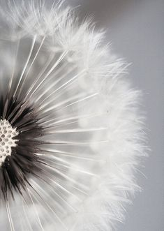 Dandelion off center photo, capturing the beauty of a weed closeup. I really enjoy how the dandelion takes over the photo. Cool Pictures, Beautiful Pictures, Beautiful Drawings, White Dandelion, Dandelion Clock, Dandelion Flower, Dandelion Wallpaper, Dandelion Painting, Dandelion Wine