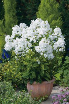 4660c275794 Plante vivace ombre et mi-ombre phlox haut David florifère rustique Fleurs  Bleues Vivaces