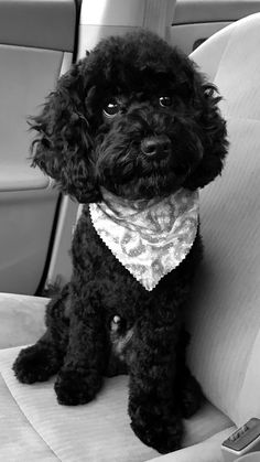 Black cockapoo, although not recognised as a pedigree by the Kennel Club I have included him on this list because I have a soft spot for them!