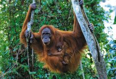 Sumatra, Indonesia. I want to go on the trek to see 1 of the only 2 places in the world you can see orangutans in their natural habitat. #SaveTheOrangutans!
