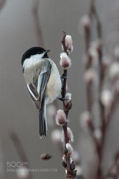 Black-capped Chickadee - Inspecting the pussy-willows. Pretty Birds, Love Birds, Beautiful Birds, Animals Beautiful, Cute Animals, Small Birds, Little Birds, Colorful Birds, Chickadee Tattoo