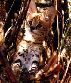African Serval  kitten - they R too cute They are the most exotic pet ever.