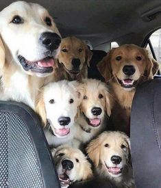 """Awesome """"golden retriever puppies"""" info is available on our site. Take a look and you wont be sorry you did. Very Cute Dogs, Cute Baby Dogs, Cute Dogs And Puppies, I Love Dogs, Doggies, Cute Little Animals, Cute Funny Animals, Funny Dog Videos, Funny Dogs"""