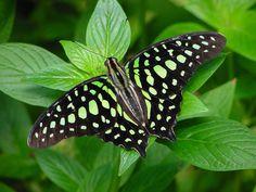 ¿Sabes cuántas especies de mariposas puedes ver en Sri Lanka?