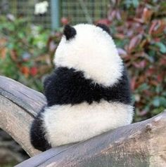 panda A cute, round figure Cute Funny Animals, Funny Animal Pictures, Cute Baby Animals, Animals And Pets, Panda Kawaii, Cute Panda, Panda Panda, Beautiful Creatures, Animals Beautiful
