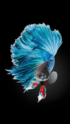Betta Fish Wallpaper iPhone 6 and iPhone HD - Wallpapers Designs Live Wallpaper Iphone 7, Tier Wallpaper, Animal Wallpaper, Live Fish Wallpaper, Cool Iphone 6 Wallpapers, Computer Wallpaper, Pretty Fish, Beautiful Fish, Colorful Fish