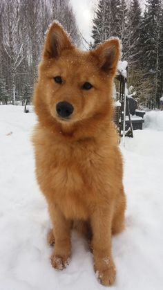Young finnish spitz measuring your worth in belly rubs