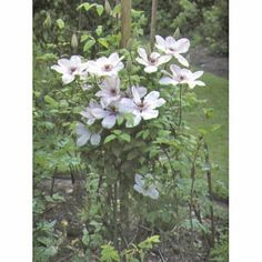 Clématite 'Jean Paul II' - Plantes et Jardins Mars-avril: Taillez une branche sur deux à 30-40 cm du sol en fin d'hiver pour la densifier et augmenter sa floraison.