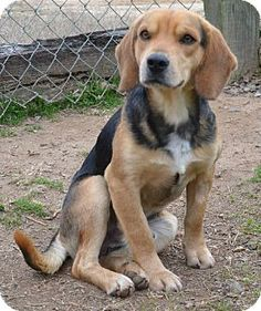 beagle coonhoun...