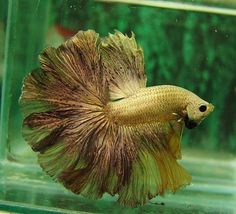 Yellow Platinum Feather tail-fact #11: the bettas really name is siemese…
