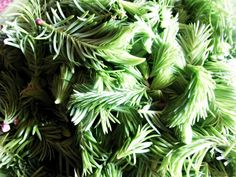 Sirop din muguri de brad si cimbrisor cu miere Plant Leaves, Food And Drink, Plants, Drinks, Syrup, Canning, Essen, Drinking, Beverages