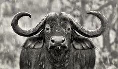 Rainy day Buffalo Photo by Joe Kilanowski -- National Geographic Your Shot National Geographic Photography, National Geographic Photos, Buffalo Animal, African Buffalo, Lightroom, Photoshop, Serengeti National Park, Animal Magic, Shot Photo