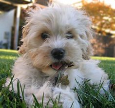 Cute little cockapoo puppy. @Nadine Nedza we should get one for your mama :)