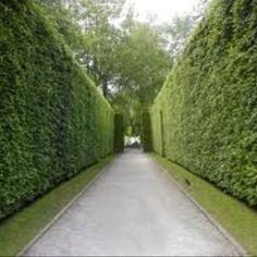 Evergreen privacy hedges.....front and side yard?