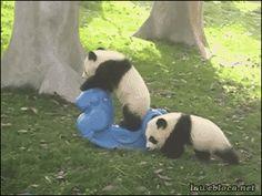 "lawebloca:  Baby Panda Riding Rocking Horse Video  Baby panda so drunk ;u;"""