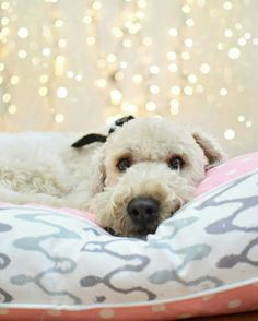 @originaldigsllc Meli's Pink Polka Pet Bed is fashion forward, durable, & satisfies both you and your pet. Check out the rest of Original Digs Pet Beds at www.original-digs.com Your #pets will thank you! :)