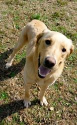 Cameron is a one and half year old male golden retriever/lab mix. He is a big boy, weighing 58 pounds and is very strong!!! He has a thick golden tan and some white coat. Cameron was found and dropped off at...