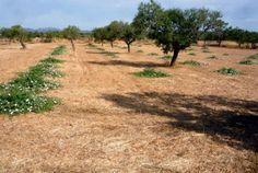 Φυτά κάππαρης  Capparis Spinosa υπό-είδος Rupestris ποικιλία Rupestris 6978117325