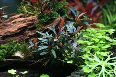 Buce's versatility and ease in care are what make the plant so desirable for planted tanks, terrariums, or even ponds. Many species commonly produce flowers.