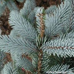 Picea pungens 'Hoopsii' and many other plants like it are available at Arts Nursery
