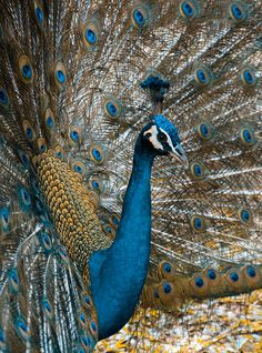 Peacock……..HAVE YOU EVER SEEN THEM WALK???…….THEY STRUT LIKE PEACOCKS….SO PROUD OF THEIR PLUMAGE AS WELL THEY SHOULD BE……..ccp