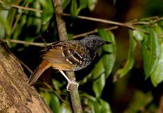 Scalloped Antbird male