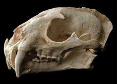 Replica Clouded Leopard Skull