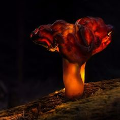 "Gyromitra infula ""lumini"" Better res. & more photos: https://goo.gl/3yeBgT #mushroom #mushrooms #plant #symbiosis #fungi #funghi #forest #autumn #fall #stump #moss #bokeh #bokehlicious #glow #glowing #glowshroom  #CZJ #pancolar #dark #orange #rainy #cloudy #moody #oldlens #vintage_lens #vintage #manuallens Canon 70D Carl Zeiss Jena Flektogon 20mm f28 MC"