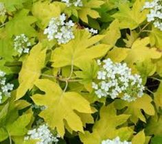Little Honey Dwarf Oakleaf Hydrangea Hydrangea quercifolia 'little honey' PP 15477 'Little Honey' is a compact spreading cultivar that typically matures to 3-4' tall and to 4-5' wide. Showy, deeply-lo